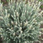 Lavender dentata white - Hardy Perennial Plant