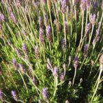 Lavender Royal Crown - Hardy Perennial Plant