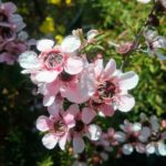 Leptospermum Pink Cascade - Australian Native Plant