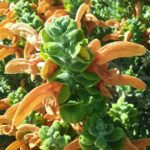 Salvia africans lutea - Perennial Plant