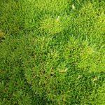Scleranthus biflorus - Australian Native Plant