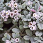 Zieria littoralis - Australian Native Plant