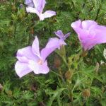 Alyogyne Thelma - Australian Native Plant
