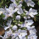 Rosemary Huntington Carpet - Hardy Perennial Plant