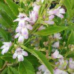 Prostanthera lasianthos pink - Australian Native Plant