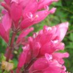 Salvia involucrata - Perennial Plant