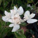 Xanthosia rotundifolia - Australian Native Plant