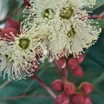 Eucalyptus diversifolia - Australian Native Tree