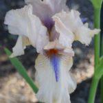Iris Concertina