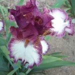 Iris Jumang