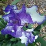 Iris Classic Look