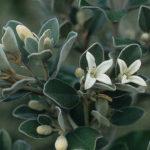 Correa alba - Australian Native Plant