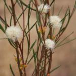 Eucalyptus perangusta - Australian Native tree