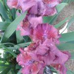 Iris Bounce