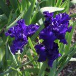 Iris New Challenger