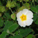 Cistus salvifolius - Perennial Plant