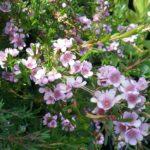 Thryptomene saxicola Pink Lace - Australian Native Plant