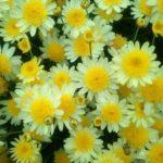 Argyranthemum Double Lemon - Perennial Plant