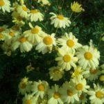 Argyranthemum madrensis - Perennial Plant