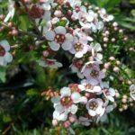 Astartea fascicularis - Australian Native Plant
