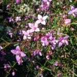 Boronia filifolia - Australian Native Plant
