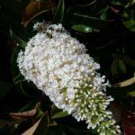Buddleia davidii White Profusion - Perennial Plant