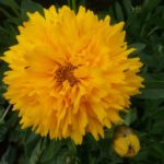 Coreopsis Early Sunrise - Perennial Plant