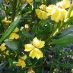 Goodenia vernicosa - Australian Native Plant