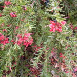 Grevillea John Evans - Australian Native Plant