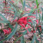 Grevillea dimorpha - Australian Native Plant