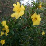 Hibbertia cuneiformis - Australian Native Plant