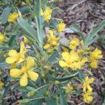 Hibbertia racemosa - Australian Native Plant