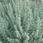 Maireana oppositifolia - Australian Native Plant