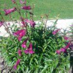 Penstemon burgundy - Perennial Plant