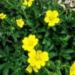 Potentilla recta Warrenii - Perennial Plant