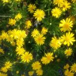 Euryops species - Hardy Perennial Plant