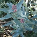Atriplex bunburyana - Australian native Plant