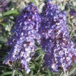 Buddleia davidii Nanho Blue - Perennial Plant