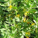 Eremophila glabra gold flowered form - Australian Native Plant