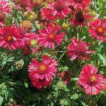 Gaillardia red flowering form - Perennial Plant
