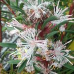 Isopogon axillaris - Australian Native Plant
