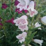 penstemon Mother of Pearl - Perennial Plant