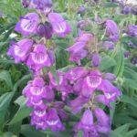 Penstemon Sour Grapes - Perennial Plant