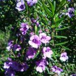 Prostanthera scutellarioides - Australian Native Plant