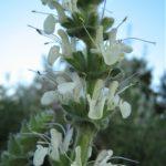 Salvia austriaca - Perennial Plant