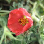 Sphaeralcea munroana - Perennial Plant
