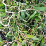 Agonis flexuosa Zig Zag - Australian Native Plant
