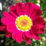 Argyranthemum Red Baron - Perennial Plant