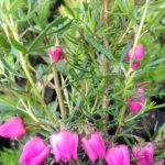 Boronia Carousel - Australian Native Plant