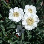 Achillea umbellata - perennial Plant